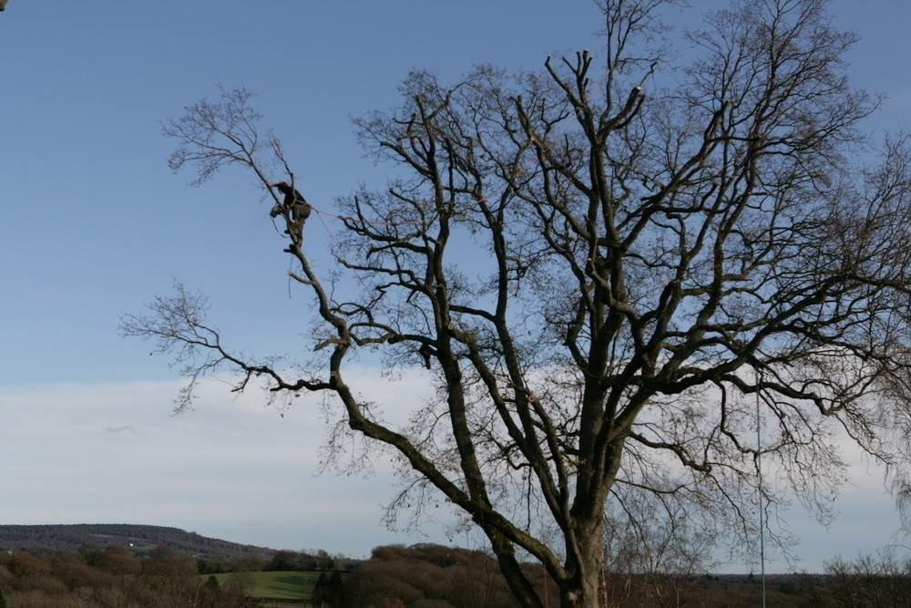 Crown reduction on a beech tree